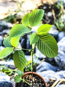 Mitragyna speciosa tree